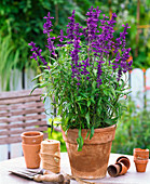 Salvia farinacea (Flour sage) in clay pot
