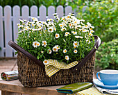 Argyranthemum 'Beauty White' (Marguerite)