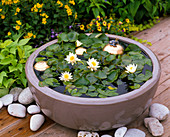 Bowl with Nymphaea tetragona 'Alba' (dwarf sea-rose)