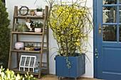 Jasminum nudiflorum (winter jasmine) in blue bucket with trellis