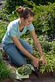 Woman harvesting Salvia 'Icterina' (golden sage)