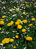 Meadow flower with Taraxacum officinale and Bellis perennis