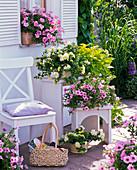 Petunia Sylvana 'Soft Rose' 'Double Champagne' 'Magic Pink'