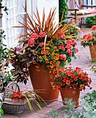 Osteospermum Asano 'Super Orange' (Cape daisy), Phormium