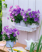 Campanula carpatica 'Blue Clips' (Carpathian Bellflower)