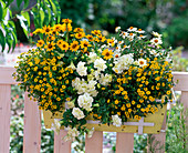 Yellow and white balcony box with Zinnia Profusion 'Yellow', 'White'