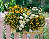 Yellow and white balcony box with Zinnia Profusion 'Yellow', 'White'