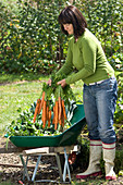 Woman placing freshly harvested Daucus carota in wheelbarrow