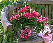 Pelargonium peltatum 'Pink Sybil' (Hanging Geranium)