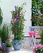 Lathyrus odoratus (sweetpea) in tub with pink and purple