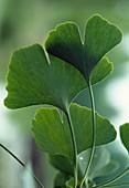 Ginkgo biloba (fan leaf tree), leaves