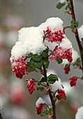 Ribes sanguineum (blood currant), flowers with snow