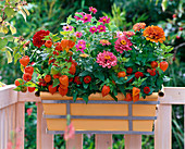 Autumnal balcony box with Zinnia elegans and profusion