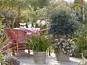 Amarcrinum (Gartenamaryllis) mit intensiv duftenden Blüten