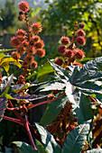 Ricinus communis 'Impala' (red-leaved castor plant)