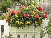Late summer box with Zinnia (Zinnia), Lantana 'Yellow Mini'