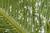 Pseudococcidae on Cycas revoluta