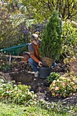 Man plants Thuja 'Emerald' (Emerald Tree of Life)
