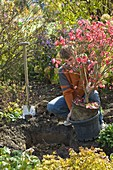 Man planting Euonymus alatus (spindle shrub)