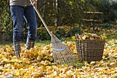 Raking up leaves and collect in wicker basket