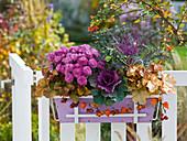 Chrysanthemum Dreamstar 'Sharon' (autumn chrysanthemum), Brassica