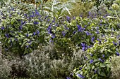Flower bed in blue and silver