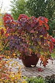 Hydrangea quercifolia (oak leaf hydrangea) in autumn coloration