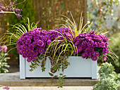 Autumn box with Aster dumosus 'Purple Diamond'