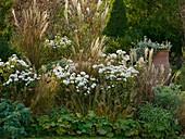 Chrysanthemum-Indicum-Hybride 'White Bouquet'(Herbstchrysanthemen)