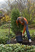 Man plants Thuja 'emerald' in the bed