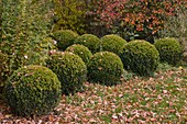 Buxus (Box balls) with autumn leaves in the garden