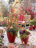 Red tubs with Pyracantha 'Orange Glow' (Firethorn)