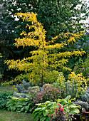 Gleditsia triacanthos 'Sunburst' (Gold - Gleditschie)