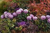 Herbstbeet mit Chrysanthemum grandiflorum (Herbstchrysanthemen)