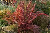 Berberis thunbergii 'Atropurpurea' (barberry) in autumn coloration