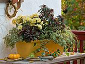 Yellow balcony box with Euphorbia 'Efanthia', Chrysanthemum