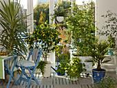 Winter garden with yucca 'Variegata' (yucca palm), abutilon