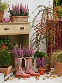Erica gracilis 'Beauty Queen Silvia' (pottery), Cotoneaster