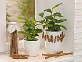 Elettaria cardamomum syn. Amomum cinnamomum, tea herb