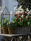 Narcissus 'Bridal Crown' (Narcissus), Tulipa 'Leen Van der Mark'