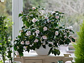 Camellia japonica 'Berenice Boddy' at the window