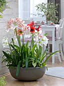 Bowl planted with Hippeastrum, Syngonium