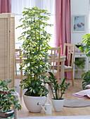 Schefflera arboricola 'Gold Capella' (ray aralia)