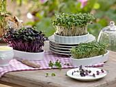 Fresh sprouts of cress, radish and small radish
