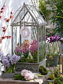 Hyacinthus (Hyacinth) in a small glasshouse