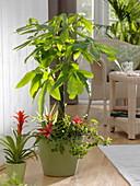 Pachira aquatica (Rasierpinselbaum) unterpflanzt mit Guzmania (Bromelien)