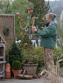 Woman hanging bird food on prunus (cherry tree) in basket pot