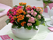 Kalanchoe in white cup