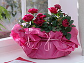 Red rose chinensis in pink tissue paper as a gift