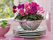 Cyclamen (cyclamen) planted with moss in a colander